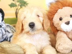 Goldendoodle-DOG-Male-apct-3259597