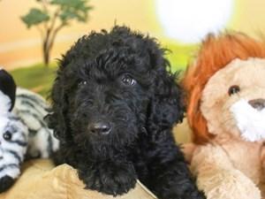 Goldendoodle-DOG-Male-blk-3259601