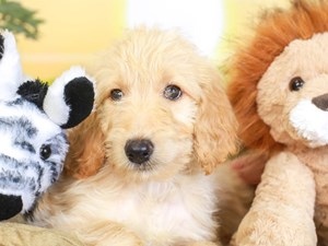Goldendoodle-DOG-Female-lt apct-3259607