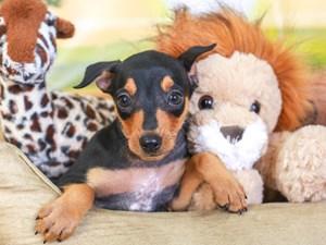 Mini Pinscher-DOG-Male-blk & tn-3259955