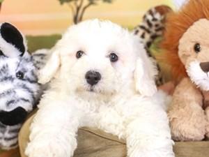 Bichon Frise-DOG-Male-WHITE-3259988