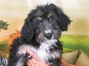 Aussie Poo-DOG-Female-blk & tn-3260170