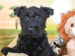 Scottish Terrier-DOG-Female-black-3259994