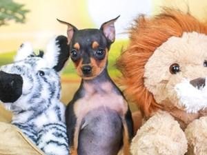 Mini Pinscher-DOG-Female-blk & tn-3259957