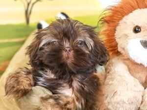 Shih Tzu-DOG-Female-lvr-3258871