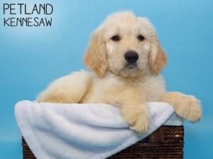 Goldendoodle-DOG-Male-3256720