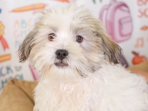 Malshi-DOG-Male--3174492