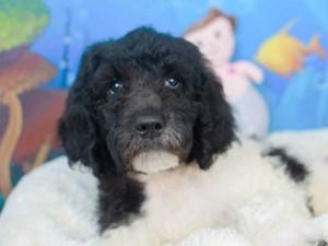 Goldendoodle-DOG-Male-BLACK/WHITE-3269106