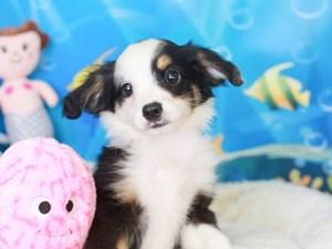Mini Aussie-DOG-Female-blk tri-3269323