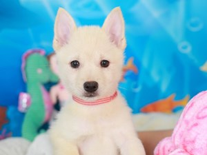 Schipperke-DOG-Male-cream-3268818