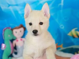 Schipperke-DOG-Male-cream-3268817