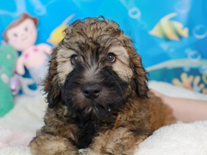 Whoodle-DOG-Male-wheaten-3268897