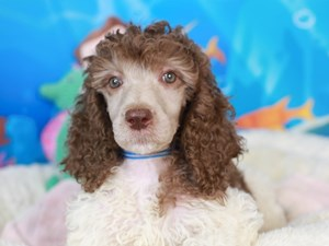 Standard Poodle-DOG-Female-chc wh prti-
