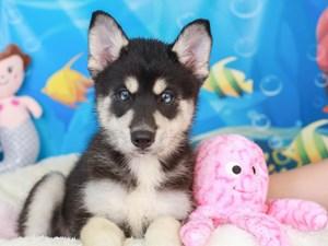 Pomsky-DOG-Male-tri-