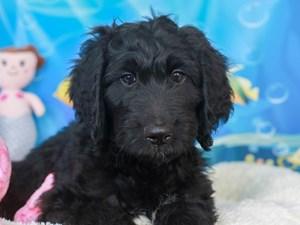 Aussie Poo-DOG-Male-black-3269425