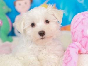 Havanese-DOG-Male-cream-3268947