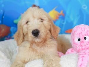 Goldendoodle-DOG-Male-CREAM-3269107