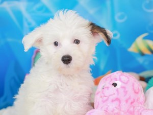 Chinese Crested-DOG-Male-Sable-3267199
