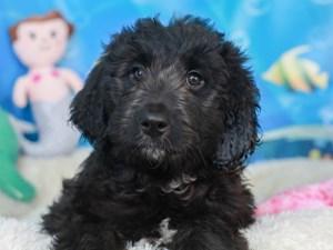 Aussie Poo-DOG-Female-blk-3269427