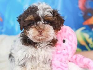 Shih Poo-DOG-Female-chc tri-