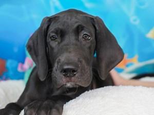 Great Dane-DOG-Male-black-
