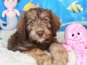 Aussie Poo-DOG-Female-sable-3269428
