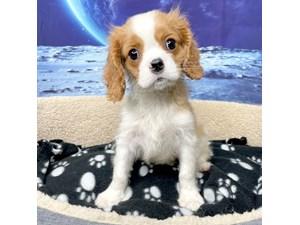 Cavalier-King-Charles-Spaniel-DOG-Male-3266881