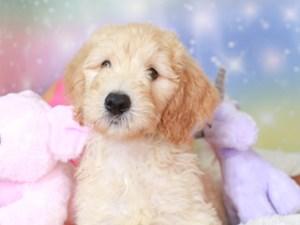 Goldendoodle-DOG-Male-gldn-3277383
