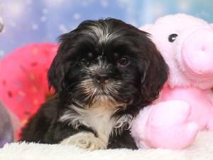 Shih Tzu-DOG-Male-black & white-