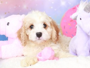 Cavapoo-DOG-Male-red & white-