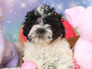 Shih Poo-DOG-Male-blk/wh-3278295