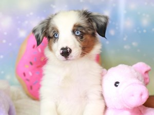 Mini American Shepherd-DOG-Male-bl mrl-3278464