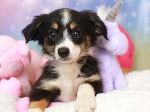 Mini Aussie-DOG-Female-blk tri-3277978