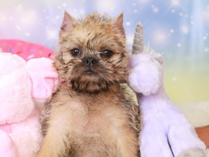 Brussels Griffon-DOG-Female-belge-