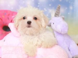Malshi-DOG-Male-white & buff-3277315