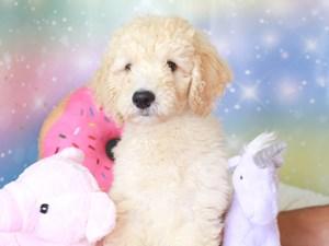 Goldendoodle-DOG-Male-gldn-3277381