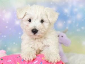Wauzer-DOG-Female-white-3278079