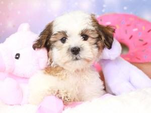 Malshi-DOG-Female-gld/wh-3277852