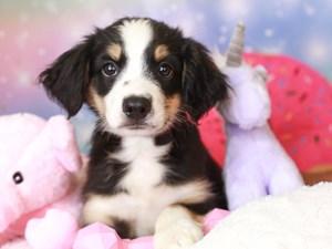 Mini Aussie-DOG-Male-blk tri-3277972