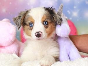 Mini Aussie-DOG-Male-bl mrl-3277971