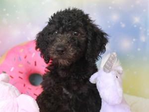 Goldendoodle-DOG-Female-blk-3277386