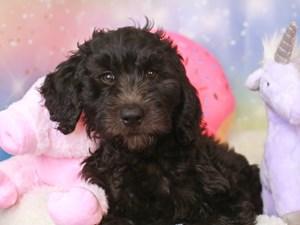 Goldendoodle-DOG-Female-blk-3277385