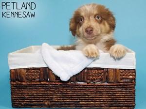 Australian-Shepherd-DOG-Male-3275297