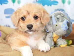 Corgi Poo-DOG-Male-brown-3286880