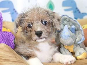 Corgi Poo-DOG-Female-bl mrl-3286882