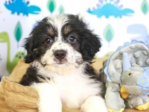 Aussie Poo-DOG-Female-blk/wh-3287505