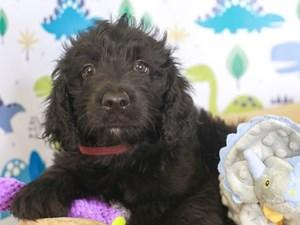 Goldendoodle-DOG-Female-BLACK-3287023