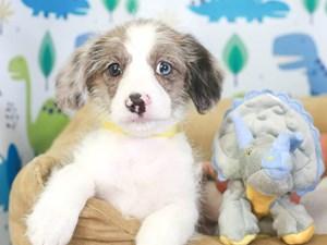 Corgi Poo-DOG-Male-bl mrl-3286879
