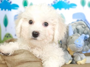 Bichon Frise-DOG-Male-WHITE-3287610