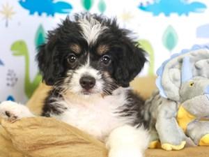 Aussie Poo-DOG-Female-tri-3287507
